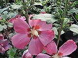 1 Stück Gartenhibiscus, Garteneibisch, Hibiskus 'Pink Giant' (Hibiscus syriacus) Containerware 40-60 cm