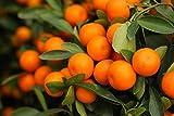 Citrus madurensis - Calamondinorange - Zwergorange - PALLETTENVERSAND INNERHALB DEUTSCHLANDS (180-200cm Stamm 50-60cm Topf 25Ltr.)