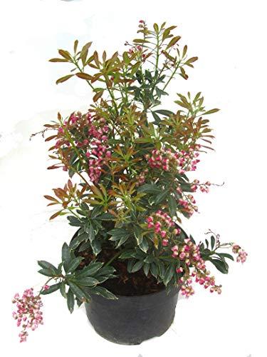 Schattenglöckchen Pflanzabstand ca. 30 - 40 cm