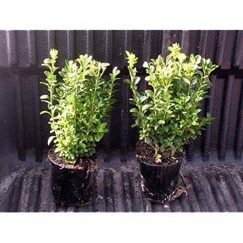 50 buchsbaum pflanzen im topf buxus sempervirens h he 15 20 cm garten. Black Bedroom Furniture Sets. Home Design Ideas