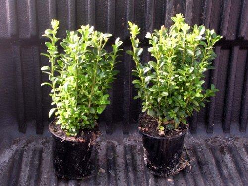 Buchsbaum Pflanzabstand ca. 10 - 20 cm