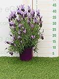 pianta vera da esterno di Lavanda Stoechas madrid purple v.14