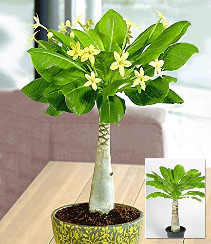 BALDUR-Garten Hawaii-Palme, 1 Pflanze Zimmerpflanze blühend Brighamia insignis