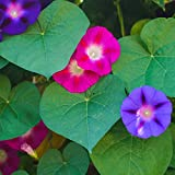 Semi comuni misti di Morning Glory - Ipomea purpurea