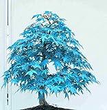 50 PC / Beutel Japanischer Ahorn-Samen Toronto Maple Leafs Baumsamen Perennial Zierpflanzen Feuer Ahorn Bonsai-Baum-Garten Pflanze Lila