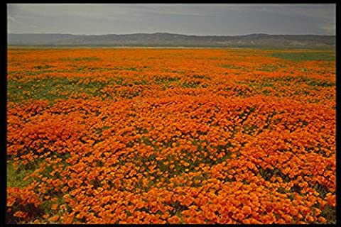 514021 Springtime poppies in bloom California A4 Photo Poster Print 10x8