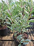 Prunus lusitanica Variegata - weißbunte Portugiesische Lorbeerkirsche
