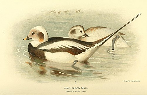 Archibald Thorburn - Birds of The British Islands 1885 Duck Long-Tailed Kunstdruck (60,96 x 91,44 cm) - Long-tailed Duck