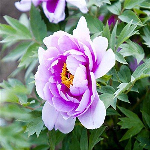 5 pièces / sac graines de pivoine, jaune, graines de fleurs de pivoine rose chinoise belles graines de bonsaï plantes en pot pour le jardin de la maison 5