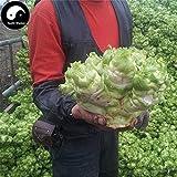 PLAT FIRM KEIM SEEDS: 200pcs: Kaufen Brassica juncea Gemüsesamen Pflanze Knospen Gemüse Senf Knospen