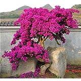 Rojo: 50 semillas/Pac Ktop vendiendo coloridas buganvillas Spectabilis Willd Semillas Bonsai Plant Flower Seeds Perennial Bou