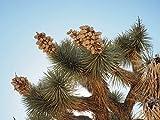 Winterharte Josua-Palmlilie - Yucca brevifolia - 70-90cm Topf 20 Ltr.