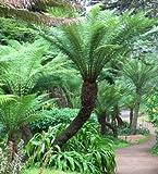 Dicksonia antarctica - Fougère arborescente resistant au gel - 10 graines