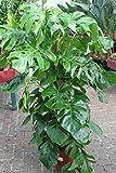 Zimmerpflanze für Wohnraum oder Büro – Monstera deliciosa - Köstliches Fensterblatt. Höhe ca. 1,5 m