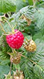 5 Stck. Himbeere 'Polka' - (Rubus id. 'Polka')- Containerware 40-60 cm