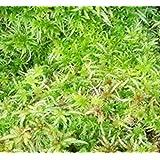 Muschio sfagno muschio vivente 1000g (sphagnum)