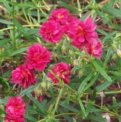 Sonnenröschen Purpurrote Blüten