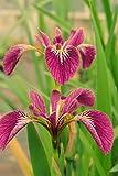 WFW wasserflora Rote Sumpfschwertlilie 'Kermesina' / Iris versicolor 'Kermesina' Rot im 9x9 cm Topf - Klärpflanze Gartenteich