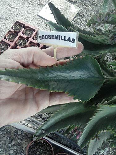 Kostenlos Samen (Portal Cool Samen Paket: Bio Blät Bryophyllum daigremontianum, Anti-, 300G + 150G Kostenlos)