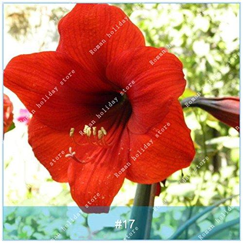Galleria fotografica ZLKING 1 pc / pacchetto Big vero Amaryllis Bulbi interna ed esterna in vaso Fiori Piante Flower Bulb bonsai tasso di sopravvivenza è alta 17
