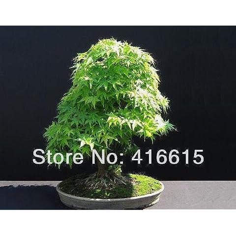 30 PC japonesa verde de la cascada Las semillas de arce Bonsai - Acer palmatum - exótico Bonsai Tree - arce verde japonés