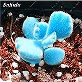 Caliente ! Semillas Semillas 200 PC raras mini azul Lithops Cactus suculentas semillas Culo flor de piedra Bonsai Para el jardín de DIY So Beautiful 1