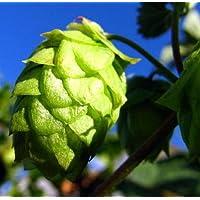 "PLAT FIRM Semillas DE GERMINACION: Perle Beer Hops Vine - Humulus - Â¡Cultiva tu Propia Cerveza! - 4""Olla"