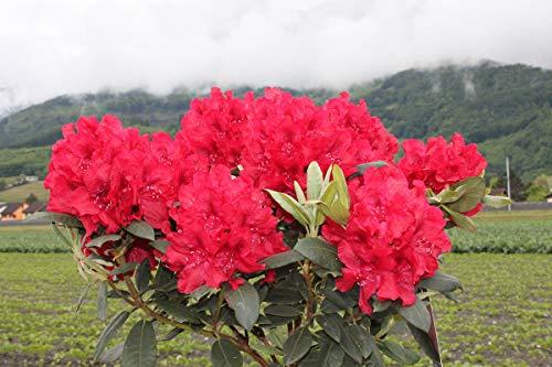 Rhododendron Hybride 'Erato' - Im 5 lt. Topf, Höhe ca. 30-40cm