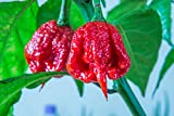 Asklepios-seeds - 15 Semi di Chili Moruga scorpion red, Trinidad Moruga Scorpion