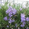 lichtnelke - Rosmarin (Rosmarinus officinalis CORSICAN BLUE) von Lichtnelke Pflanzenversand auf Du und dein Garten