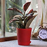 Ugaoo Air Purifying Rubber Plant Variegated With Self Watering Pot
