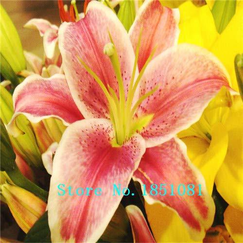 AGROBITS Gloriosa Superba Blumensamen 100PCS Lily Samen Seltene spezielle Blumen chinesischen Charakteristika Garten Heim Bepflanzung: 6