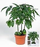 BALDUR-Garten Castanos,1 Pflanze
