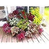 Bloom Green Co. 200 piezas hermoso arco iris Begonia Flor Bonsai hoja Flores En maceta Bonsai Jardín Patio Balcón Coleo Cre