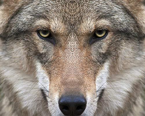 JUAMAZING Wolf Gesicht Malen nach Zahlen DIY Moderne Wandkunst Bild oder Erwachsene Kinder Anfänger Acrylfarbe auf Leinwand handgemalt Hauptdekoration Geschenk Rahmenlose 40X50 cm (Wolf Gesicht Malen)