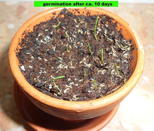 Zoom IMG-3 piuma della pampa cortaderia selloana