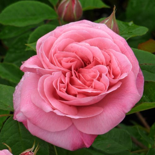 rose-gertrude-jekyll-send-someone-this-beautiful-fragrant-rose-a-superb-living-gift-for-all-occasion