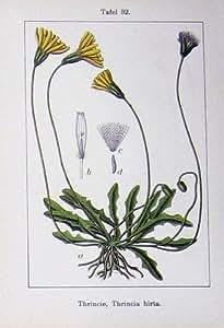 Thrincia Hirta Fiorisce la Pianta 1906 di Sturms Dubium Endivia