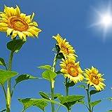 Riesen-Sonnenblume - bis 4 Meter - Wolkenkratzer - Sky Scraper - 20 Samen -