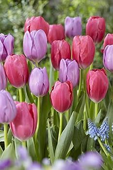 Großpackung Mit 20 Pastellfarbene Tulpen Farbmischung, Zwiebelgröße 1112 2