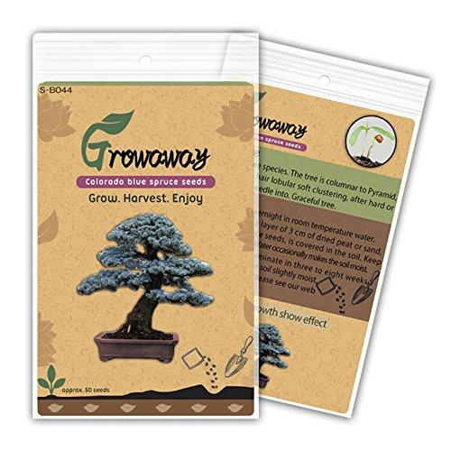 bonsai-colorado-blue-spruce-picea-pungens-las-semillas-del-arbol-de-hoja-perenne-50pcs