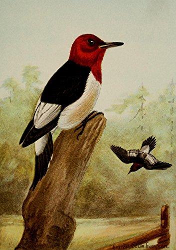 Ernest T. Seton - Bird Life 1901 Red-Headed Woodpecker Kunstdruck (60,96 x 91,44 cm) -