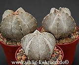 Astrophytum myriostigma X 'Onzuka' gepfr. 3 cm