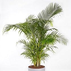 Dypsis lutescens (Chrysalidocarpus) Palme - 10 samen