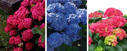 Garten-Hortensien-Set. bestehend aus je einer Pflanze in rot. rosa und blau blühend - zu dem Artikel bekommen Sie gratis ein Paar Handschuhe für die Gartenarbeit dazu