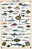 empireposter - Educational - Sea Fish - Größe (cm), ca. 61x91,5 - Poster, NEU - Text in Englisch.