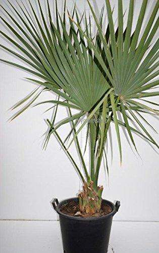 Zwerg Palmettopalme - Sabal minor - Gesamthöhe 200+cm Stamm 20+cm Topf Ø 50cm - PALLETTENVERSAND INNERHALB DEUTSCHLAND