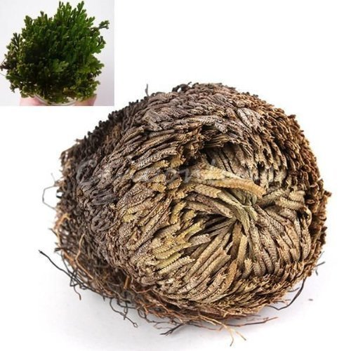 well-goal Resurrection Plante – Rose de Jericho dinosaure Plante Air fougère Clous Musc Live