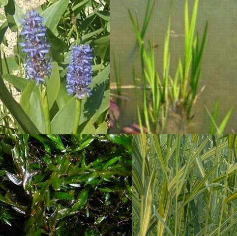 Teichpflanzen Komplettset -4- für den kleinen Teich mit Quellmoos, Wasserschwaden, Kalmus und Hechtkraut aus Naturteichen, tolle Ware, nie Wieder Algenprobleme