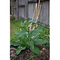 Las semillas orgánicas: 10 Corona Injertos: - Los cortes Corona - Bocng 4 Variedad - Rápido y Fácil! por Farmerly